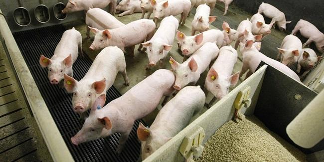 Overvågning af influenza A virus i svin afslører cirkulation af nyevirus med gener fra både svin og mennesker