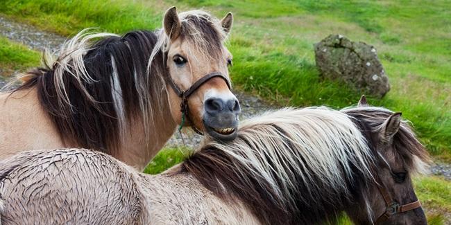 Foreløbige resultater fra den danske screeningsundersøgelse for CEM i heste