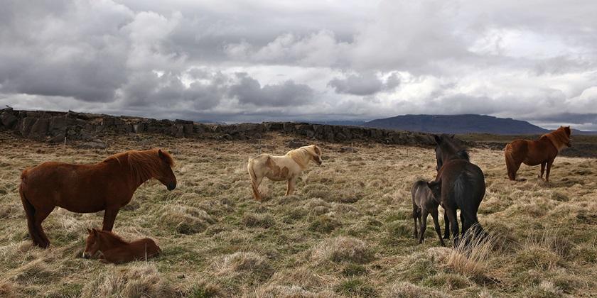 Islandske heste på mark
