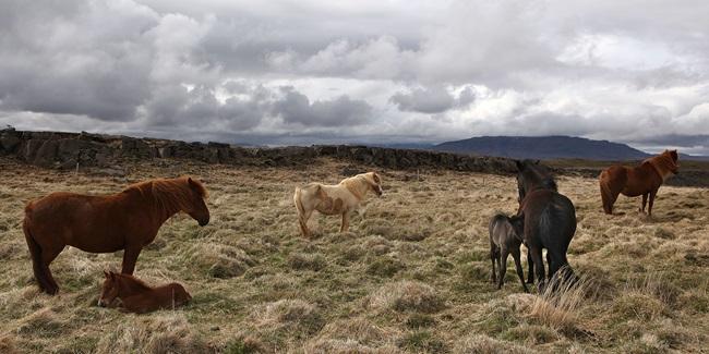Udbrud af kønssygdommen Contagiøs equin metritis (CEM) hos islandske heste