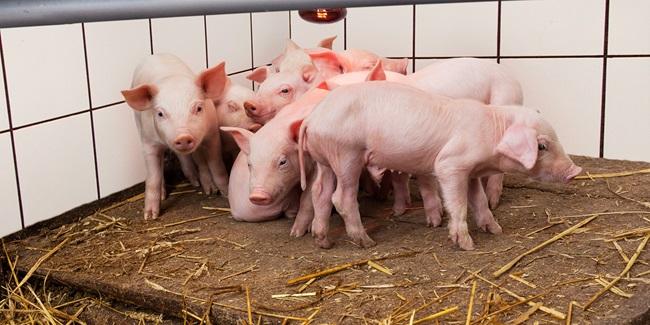 Ny resistensovervågning i danske husdyr